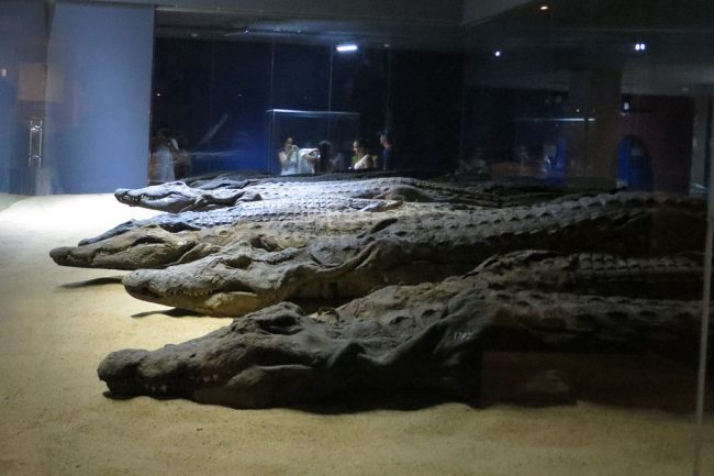 crocodile mummies